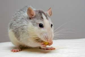 Rodent Control | Sell Your Home Privately Fort Worth
